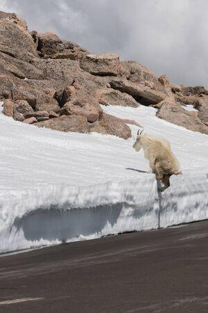 Mountain Goat on Mount Evans, Colorado.