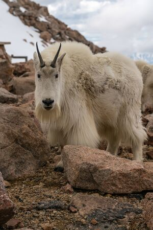 Mountain Goat on Mount Evans, Colorado.