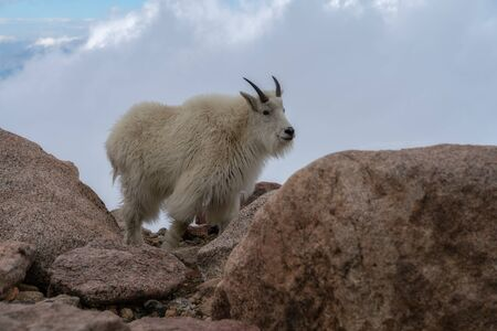 Mountain Goat on Mount Evans, Colorado. Stockfoto - 125225562