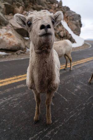 Ovis Canadensis, the Rocky Mountain Bighorn Sheep.  Mount Evans, Colorado.