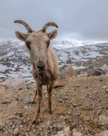 Ovis Canadensis, the Rocky Mountain Bighorn Sheep.  Mount Evans, Colorado. Stockfoto - 125225570
