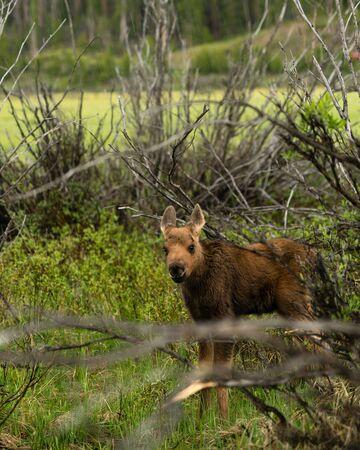 A newborn Moose in Rocky Mountain National Park, Grand Lake, Colorado. Stockfoto