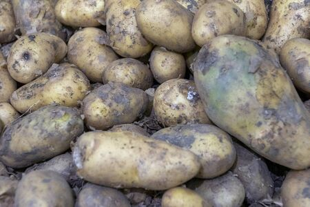 lots of potatoes. fresh potato with traces of earth on the skin. dirty raw potatoes in large quantity, not washed. Harvest of fresh young potatoes. Lots of potatoes, in a pile.