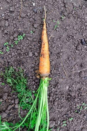 A bunch of fresh carrots with greens on the ground. A large juicy unwashed carrots in the field against the background of the earth close up. 版權商用圖片