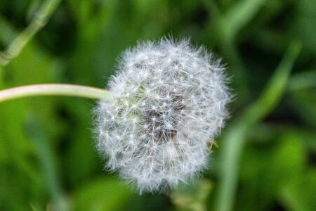 Dandelion against the background of green grass, close-up