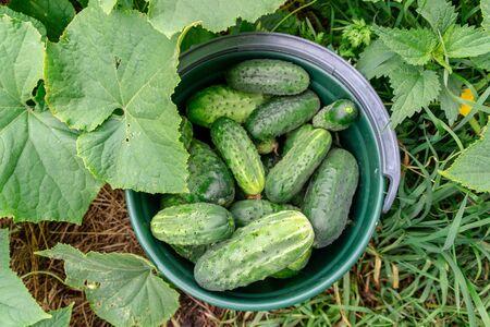 Freshly picked cucumbers in greenhouse. Bucket of cucumber harvest in garden, top view. 스톡 콘텐츠
