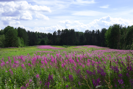 A green field with bright violet flowers, a blue sky in the clouds and a forest in the summer