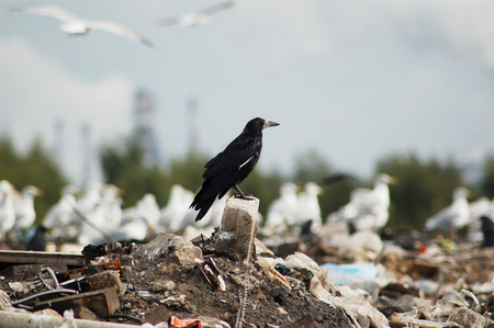 Black raven proudly sits on a large pile of debris, against the backdrop of a plant, smoke, seagulls and forest