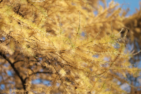 Close-up of autumnal larch branches, yellow needles, against a blue sky background