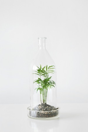 Green plants in pots protected by a glass dome bottle on a white table background. Environment protection, small home garden.