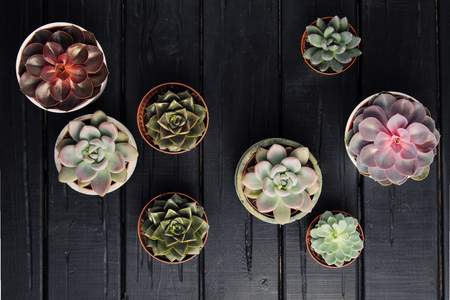 Many pots, white ceramic, gray and concrete with plants succulents of red lilac and green. Stand in a row, form interesting compositions. Close-up on a black background. Imagens - 119230117