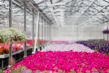 View from the inside of a large glass greenhouse. Magenta flowers and green plants with pallets in rows. Copy space and the concept of production and care of flowers. Imagens