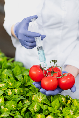 A scientist biologist in a lab coat and protective gloves introduces a blue liquid into the vegetables, tomatoes, against the background of green plants. The concept of breeding vegetables.