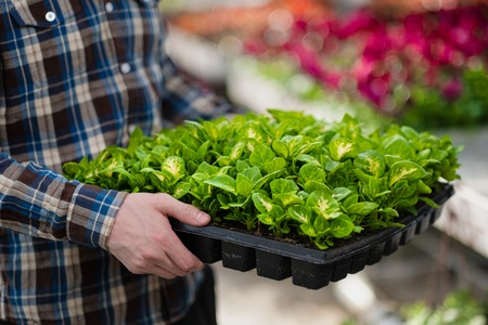 Many green plants in boxing on a tray. A man in a plaid shirt holds seedlings in his hands, closeup. Stock Photo