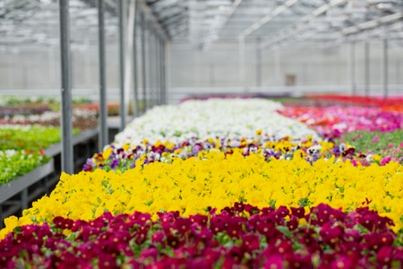 Large light greenhouse with a lot of seedlings and flowers. Red, yellow and green plants. Flower plantation concept. Imagens