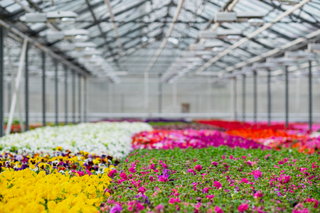 Large light greenhouse with a lot of seedlings and flowers. Red, yellow and green plants. Flower plantation concept. Standard-Bild