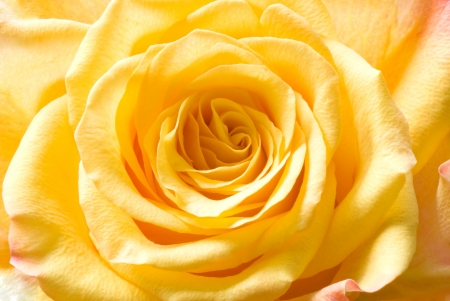Bud of yellow roses close-up  View svethu  photo