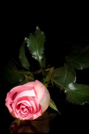 Pink rose lying on a dark glass. Reflection on the glass. On a black background.