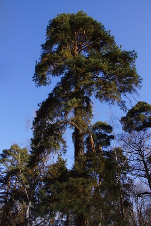 sunshines: Pine forest in the sunlight  Bottom view
