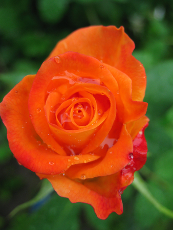 Orange flower rose. View from above. photo