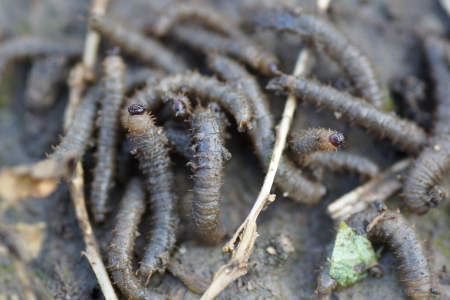 Gray worms crawling on the ground. Close-up.                                Stock Photo