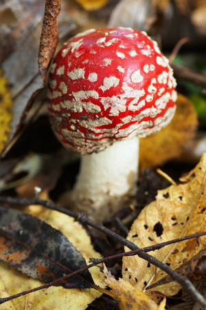 Small amanita mushroom in the forest.  Close-up.                       photo