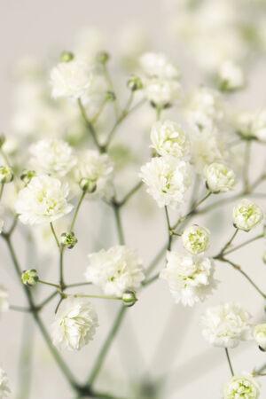 white flower gypsophila. Close-up.                                Stock Photo - 24557858