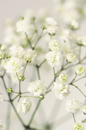 white flower gypsophila. Close-up. Stock Photo - 24557858