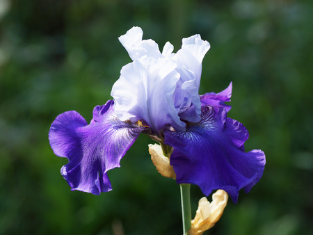 Purple iris flower in the garden. Macro.                           Stock Photo