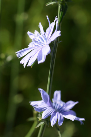 chicory flower: Chicory flower in the garden Stock Photo