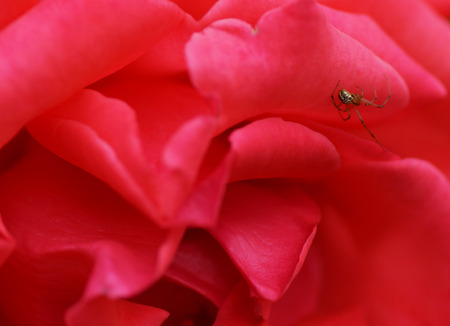Spider on a flower roses. Close-up. photo