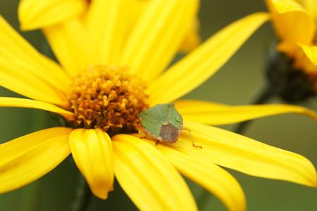 bedbug: Bedbug sits on a yellow flower. Close-up.