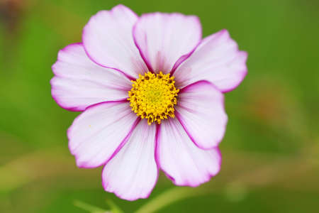 beauties: Pink flower in the garden. Close-up. Stock Photo