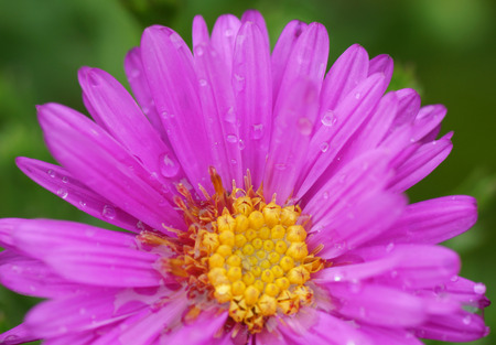 redolence: Pink flower in the garden. Close-up. Stock Photo