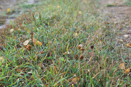 lawn grass: lawn grass with drops of water. Close up.