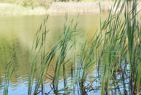 cattails: Cattails growing near the shore of the river. Summer.