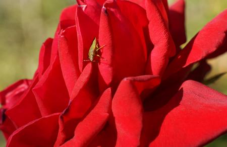 bedbug: Bedbug sits on a red flower. Close-up. Stock Photo