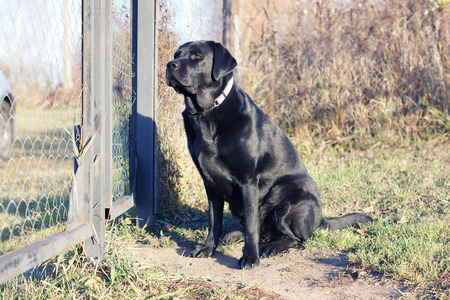 dog waiting: Black dog waiting at the fence. Labrador.