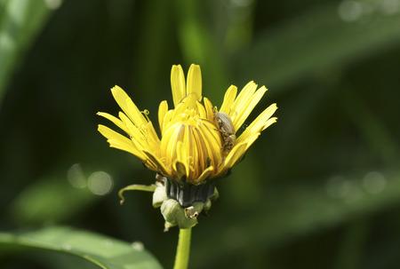 Beetle on a flower dandelion. Close-up.