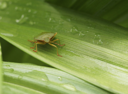 Bedbug on a green leaf in the garden. Close-up.