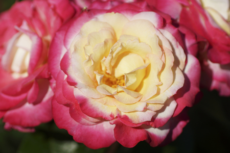 curare teneramente: Part of a pink rose bud. Close up.