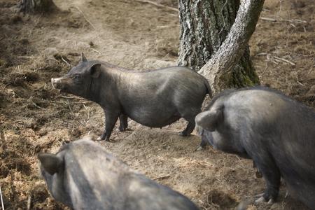 pigpen: Wild boar in a pen on the farm. Close-up.