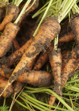 dug: Dug up from the ground carrots. Close-up.