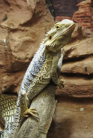 Iguana lying on the stone. Close up.
