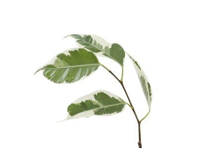 pipal: Houseplant ficus. Isolated on white.