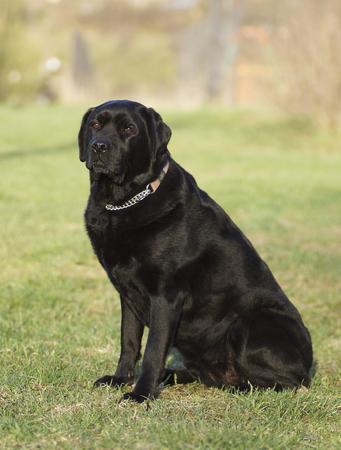 Portrait of a black dog. Labrador.