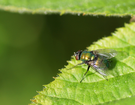 Fly on green leaf. Close-up.