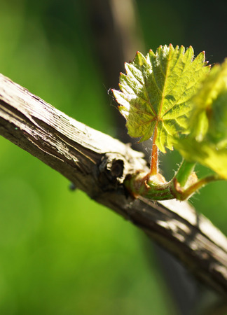 Vine with young leaves. Close up. 스톡 콘�츠