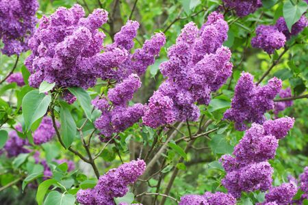 Lilac bush in the garden. Close-up.