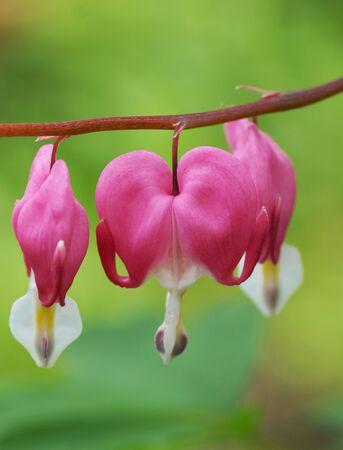 Pink flower in the garden. Close-up.